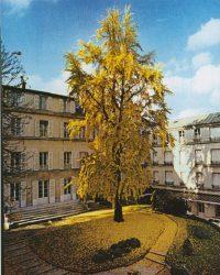 Motherhouse Gingko Tree